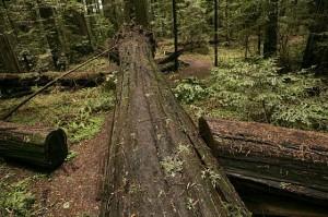 fallen redwood